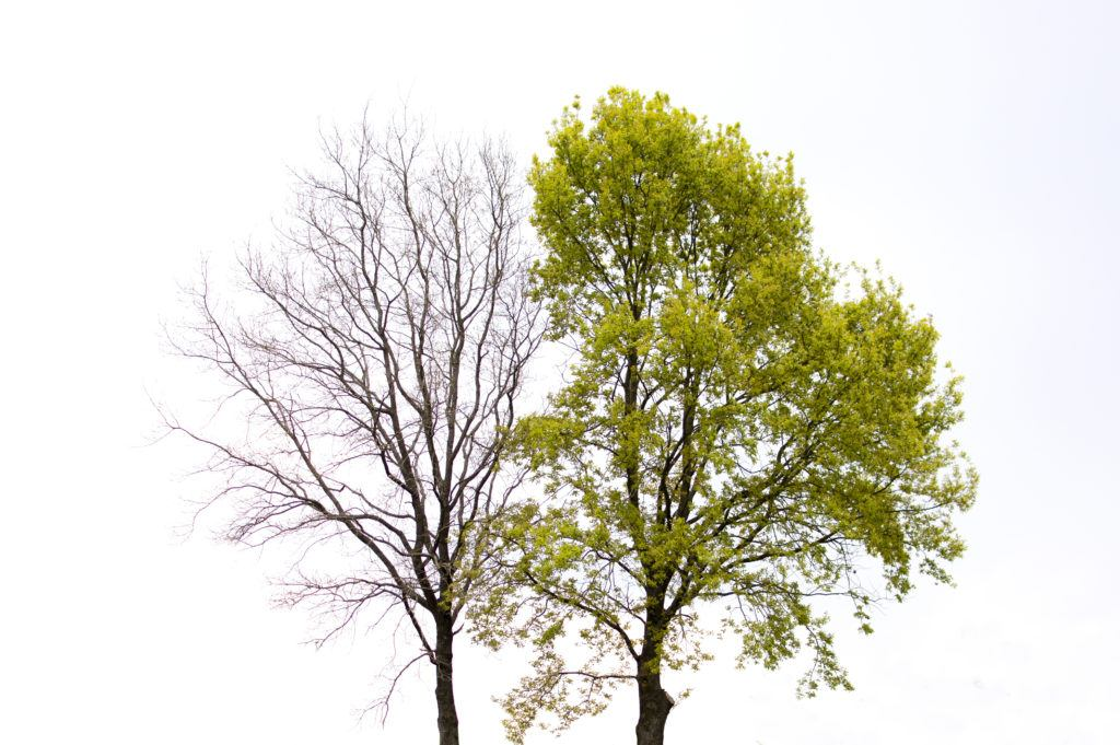 a leafy healthy tree next to a bare dying tree