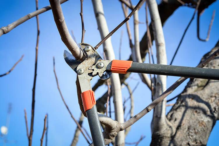 a certified arborist pruning a dormant tree during the winter while it has no foliage or leaves