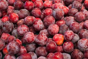 Pile of ripe Santa Rosa Plums with shades of purple, red, and yellow